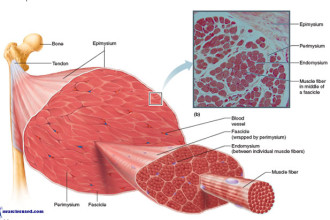 Skeletal Muscle Breakdown What are Muscles in Butterfly