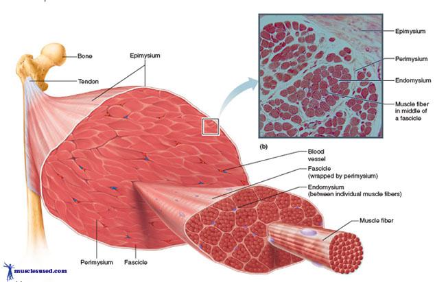 Skeleton , 3 Breakdown Of Skeletal Muscle Tissue : Skeletal Muscle Breakdown What Are Muscles