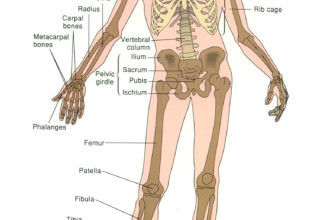 Skeletal System , 6 Human Anatomy Skeleton Pictures In Skeleton Category