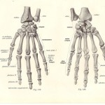 Skeleton Hands anatomy , 4 Human Skeleton Hand Diagrams In Skeleton Category