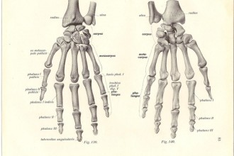 Skeleton Hands Anatomy , 4 Human Skeleton Hand Diagrams In Skeleton Category