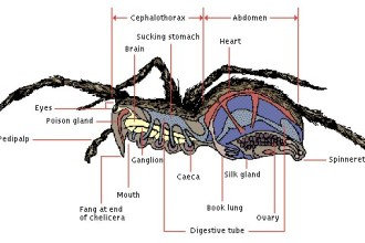 Spider Anatomy 5 , 6 Spider Anatomy Images In Spider Category