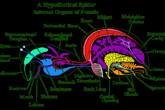 Spider Anatomy 6 , 6 Spider Anatomy Images In Spider Category