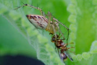 Spiders Battling Dangerous Foes pic 1 in Orthoptera