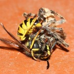 Spiders Battling Dangerous Foes pic 4 , 4 Spiders Battling Dangerous Foes Photos In Spider Category
