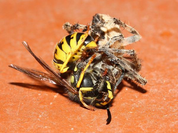 Spider , 4 Spiders Battling Dangerous Foes Photos : Spiders Battling Dangerous Foes Pic 4