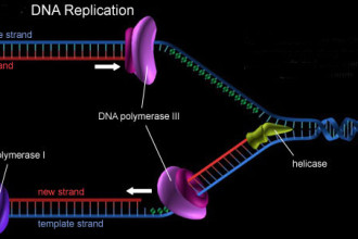 Spradling Genetics , 5 Animated Dna Replication In Cell Category