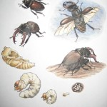 Stag beetle life cycle , 5 Beetle Life Cycles Diagrams In Beetles Category