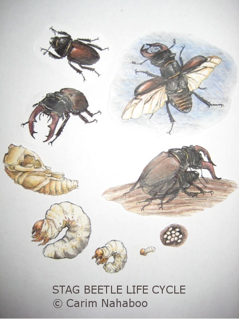 Stag Beetle Life Cycle : 5 Beetle Life Cycles Diagrams ...