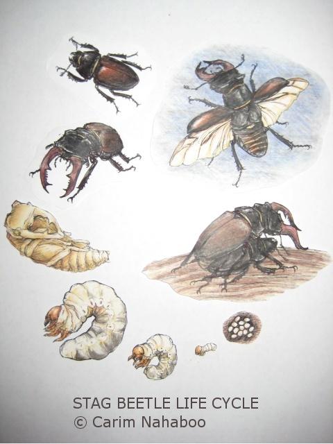 Beetles , 5 Beetle Life Cycles Diagrams : Stag Beetle Life Cycle