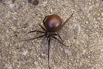 Steatoda Grossa House Spider , 10 Brown House Spider In Spider Category