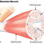 Structure of Skeletal Muscle , 3 Breakdown Of Skeletal Muscle Tissue In Skeleton Category