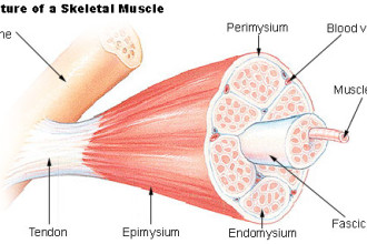 Structure of Skeletal Muscle in Butterfly