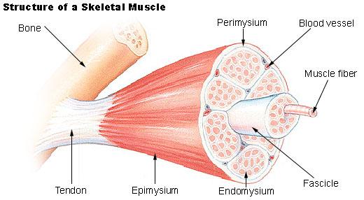 Skeleton , 3 Breakdown Of Skeletal Muscle Tissue : Structure Of Skeletal Muscle