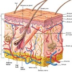 Structure of skin , 7 Skin Structure Anatomy Diagrams In Cell Category