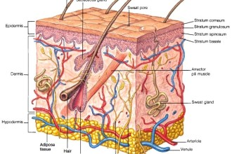 Structure of skin in Muscles