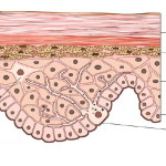 Structure of the epidermis , 7 Skin Structure Anatomy Diagrams In Cell Category