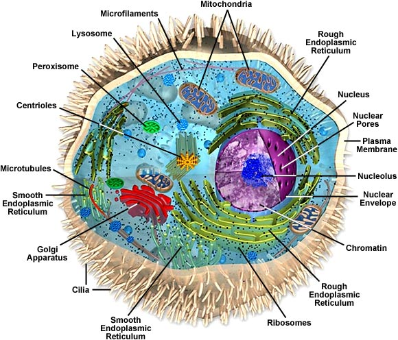 Cell , 7 Eukaryotic Cell Structure : Structures Of Eukaryotic Cells