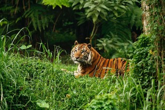 Sumateras Tiger , 6 Pictures Of Tiger Rainforest In Mammalia Category
