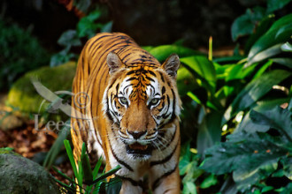 Sumatran Tiger (Panthera Tigris Sumatrae) , 6 Pictures Of Tiger Rainforest In Mammalia Category