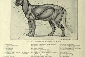 Superficial muscles of a cat in Mammalia