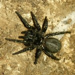 Sydney Funnel Web Spider , 6 Sydney Funnel web Spiders In Spider Category