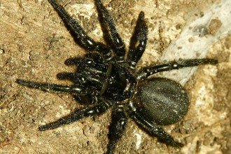 Sydney Funnel Web Spider in Laboratory
