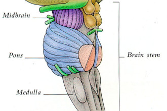 THE THALAMUS AND BRAIN STEM in Skeleton