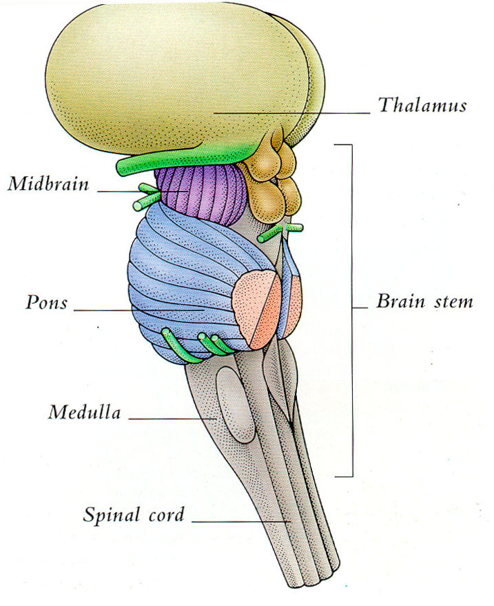 The Thalamus And Brain Stem 4 Part Of Brain That Contains Thalamus
