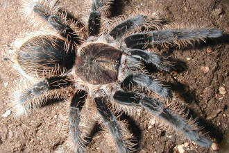 Tarantula Photo Gallery , 7 Tarantula Spider Images In Spider Category
