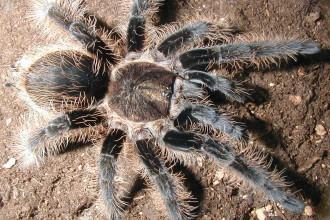Tarantula Photo Gallery , 7 Tarantula Spider Images In Spider Category