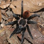 Tarantula Spider images , 7 Tarantula Spider Images In Spider Category