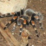 Tarantula pictures , 7 Tarantula Spider Images In Spider Category