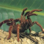 Tarantulas fun spider , 7 Tarantula Spider Images In Spider Category