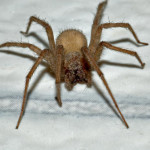 Tegenaria domestica the Large Brown Spider , 6 Big Brown Spider In Spider Category