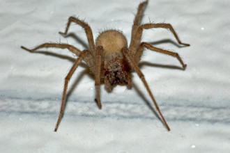 Tegenaria domestica the Large Brown Spider in Dog