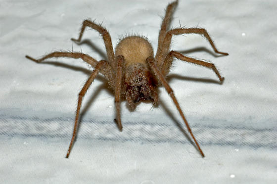 Spider , 6 Big Brown Spider : Tegenaria Domestica The Large Brown Spider