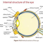 The Anatomy of the Human Ey , 6 Human Eyes Anatomy Worksheet In Organ Category