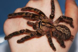 The Fringed Ornamental Tarantula , 8 Fringed Ornamental Tarantula Pictures In Spider Category