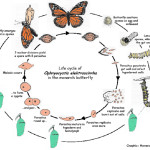 The Monarch and OE Life Cycles , 4 Life Cycle Of A Monarch Butterfly In Butterfly Category