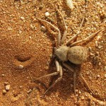The Six Eyed Sand Spider , 6 Six Eyed Sand Spider Photos In Spider Category