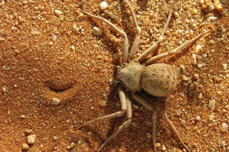 The Six Eyed Sand Spider in Butterfly