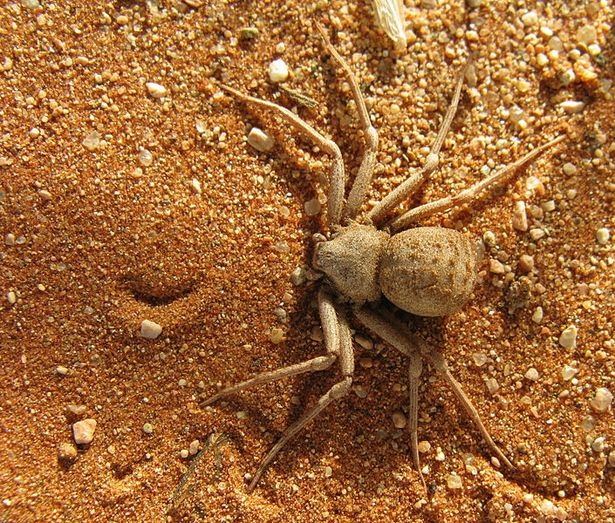 Spider , 6 Six-Eyed Sand Spider Photos : The Six Eyed Sand Spider