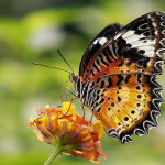 The colour of Red Lacewing Butterfly , 6 Red Lacewing Butterfly Photos In Butterfly Category