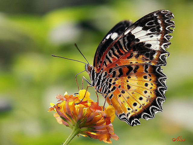 Butterfly , 6 Red Lacewing Butterfly Photos : The Colour Of Red Lacewing Butterfly