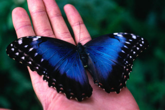 The Iridescent Blue Morpho Butterfly , 6 Iridescent Blue Butterfly Photos In Butterfly Category