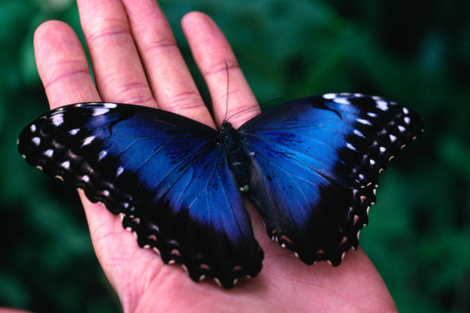 Butterfly , 6 Iridescent Blue Butterfly Photos : The Iridescent Blue Morpho Butterfly