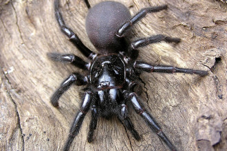 The poisonous Sydney Funnel Web spider in Butterfly