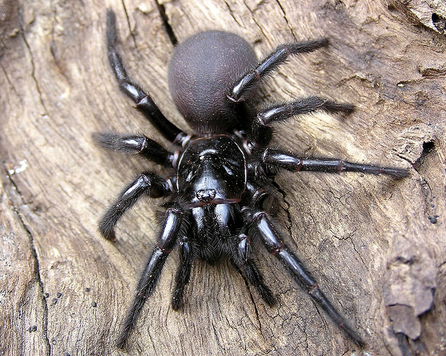 Spider , 6 Sydney Funnel-web Spiders : The Poisonous Sydney Funnel Web Spider
