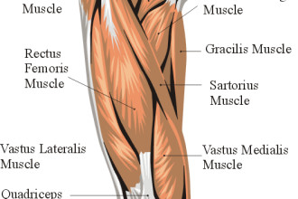 Thigh Anatomy Muscle Anterior , 7 Pictures Muscles Back Of Thigh In Muscles Category